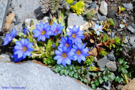Flores del Tibet